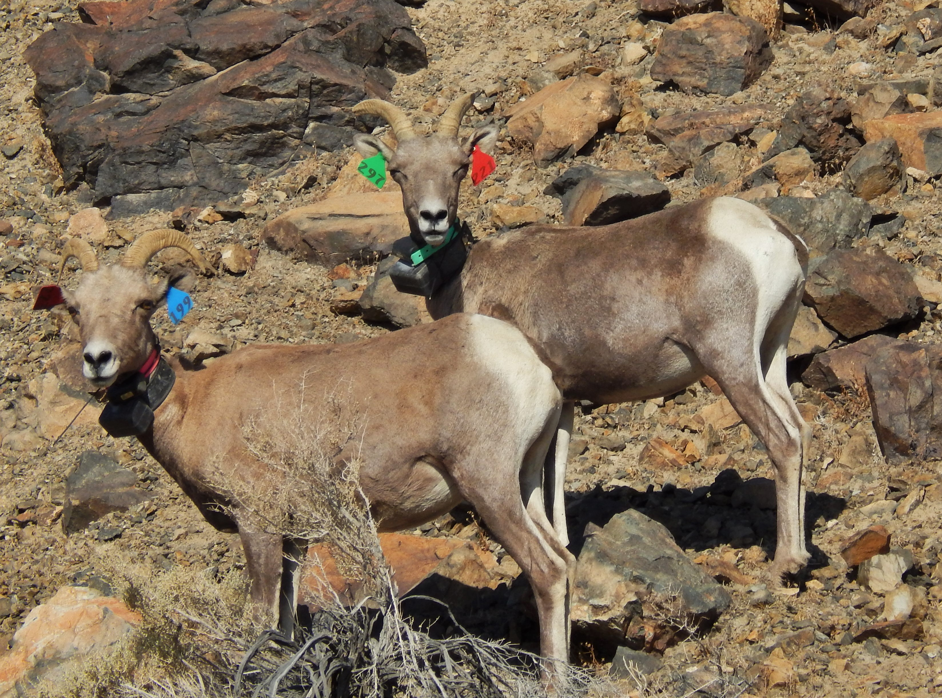 Some thoughts and ideas on desert bighorn sheep habitat in the ...
